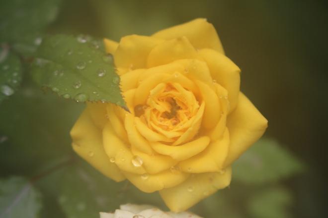 yellow rose raindrop
